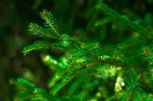 Spruce Essential Oil - Hemlock