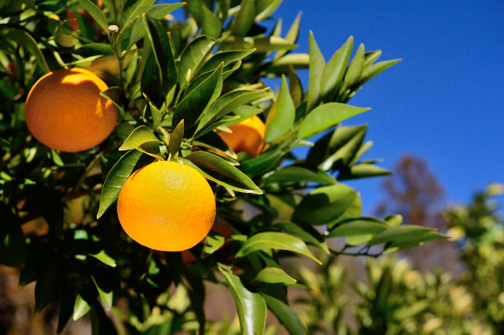 Neroli Light Essential Oil Compound