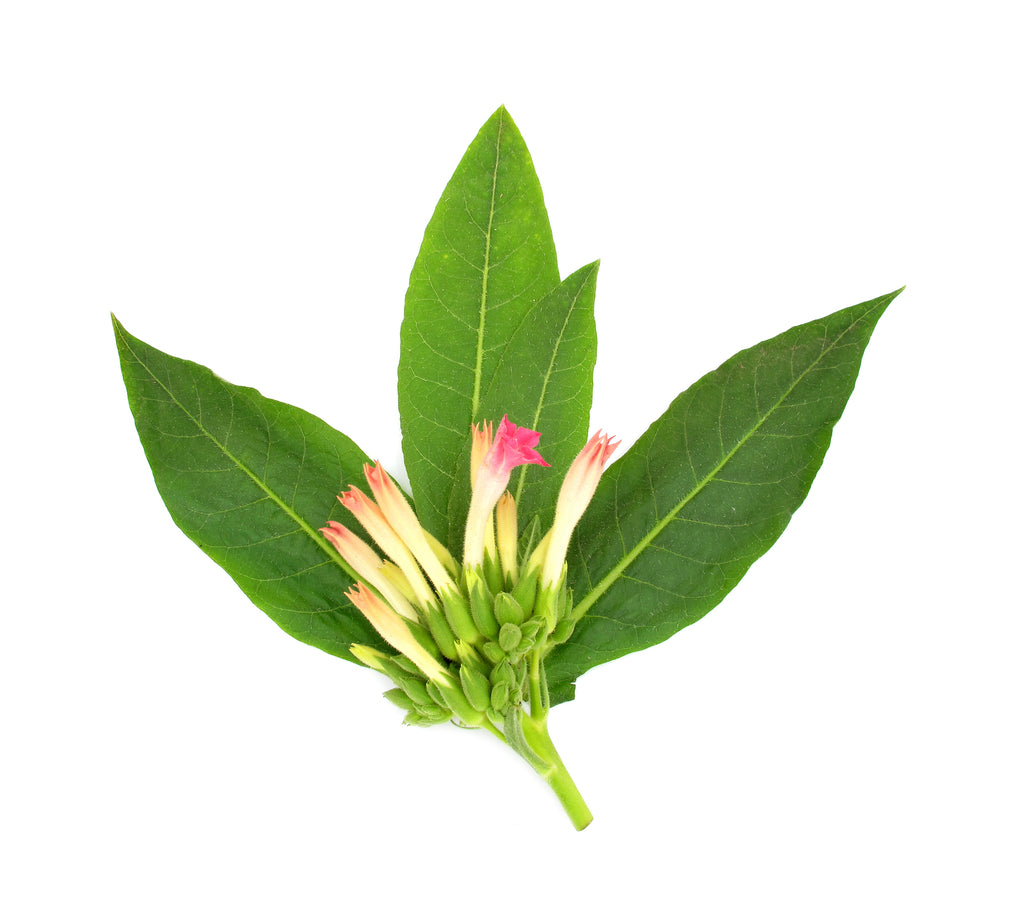 Tobacco Leaves Fragrance Oil