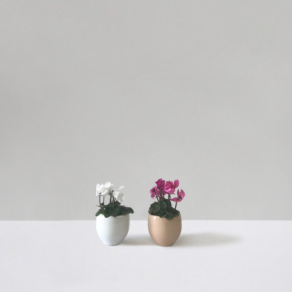 Cyclamen Cuties - Petaloom
