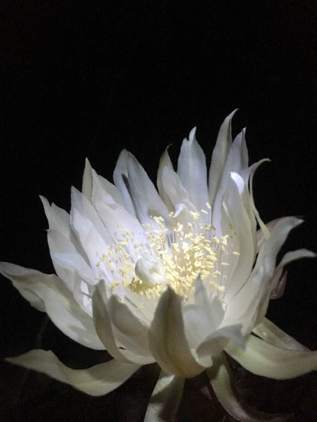 This night blooming cereus in the processing of opening fully