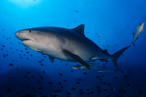 Tiger Shark - free-swimming