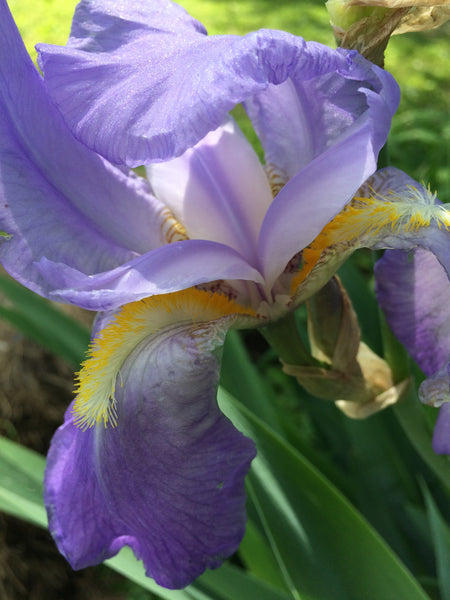 Iris (Orris) Roots in Natural Perfumery