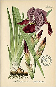Iris botanical illustration; article orris root in natural perfumery, Ananda Wilson, Gather