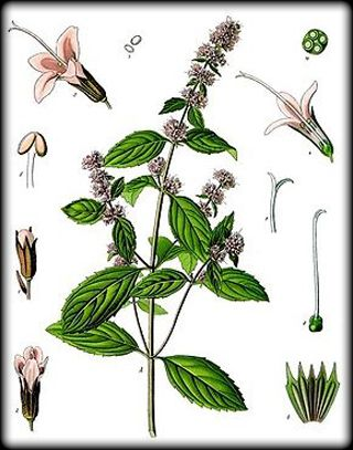 Patchouli plant vintage illustration