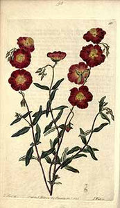 Labdanum, Rock Rose, Cistus, Perfume Ingredients, Botanical Illustration