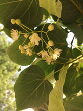 Linden Flower, Tilia Blossom, Gather perfume, Botany's Daughter