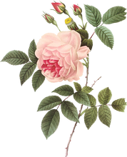 Vintage Rose Botanical Illustration
