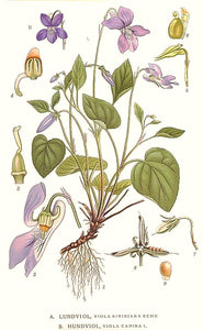 Vintage Violet Botanical Plate Illustration