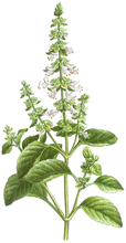 BASIL - wealth of a summer garden - botanical cologne - seasonal