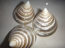 Tectus Pyramis Seashell (Polished)