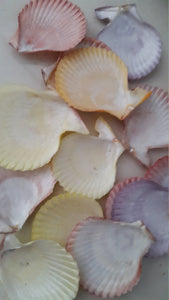 Colorful Pecten Shells (15 pcs)
