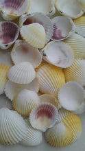 Yellow Cockles Shells (15 pcs)