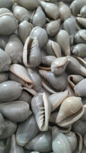 Gray Cypraea Seashells - 15 pcs