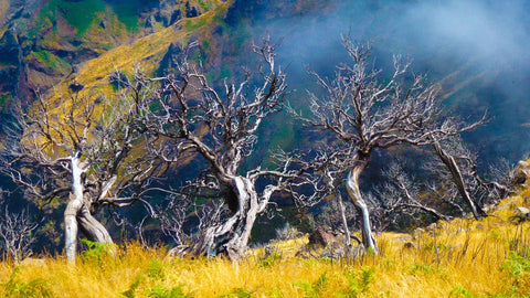 Old trees backdrop mountain