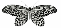 Army Butterfly
