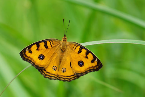 Yellow Eyes Butterfly