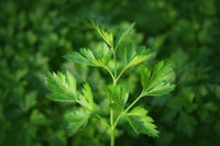 Close picture of parsley