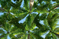 Coconut trees leaves pattern