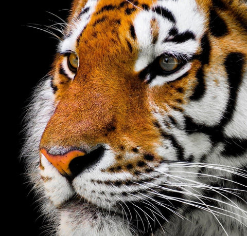 Cute close-up picture tiger