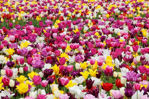 Different tulips in Holland