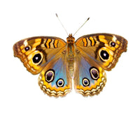 Eight Eyes Butterfly