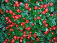 Lingonberries and leaves