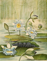 The Waterlilies 1905