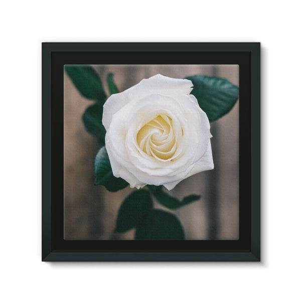 Beautiful White Rose Framed Canvas 12X12 Wall Decor