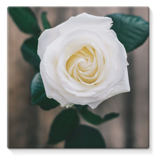 Beautiful White Rose Stretched Canvas 10X10 Wall Decor