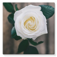 Beautiful White Rose Stretched Canvas 14X14 Wall Decor