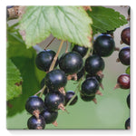 Blackcurrants Pattern Stretched Canvas 10X10 Wall Decor