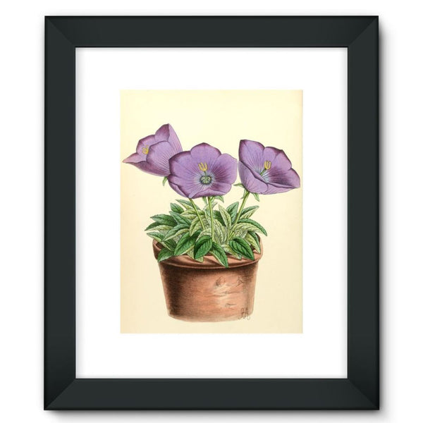 Campanula Turbinata 1869 Framed Fine Art Print 12X16 / Black Wall Decor