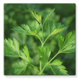Close Picture Of Parsley Stretched Canvas 10X10 Wall Decor