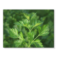 Close Picture Of Parsley Stretched Canvas 16X12 Wall Decor