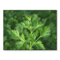 Close Picture Of Parsley Stretched Canvas 24X18 Wall Decor
