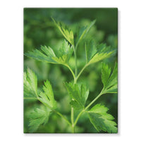 Close Picture Of Parsley Stretched Canvas 24X32 Wall Decor