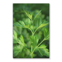 Close Picture Of Parsley Stretched Canvas 24X36 Wall Decor