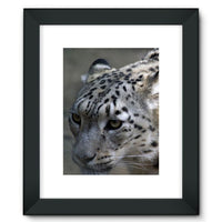 Closeup Of A Snow Leopard Framed Fine Art Print 12X16 / Black Wall Decor