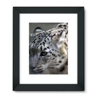 Closeup Of A Snow Leopard Framed Fine Art Print 24X32 / Black Wall Decor