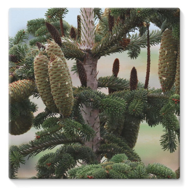 Closeup Picture A Pine Tree Stretched Eco-Canvas 10X10 Wall Decor