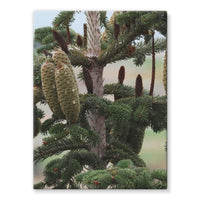 Closeup Picture A Pine Tree Stretched Eco-Canvas 18X24 Wall Decor