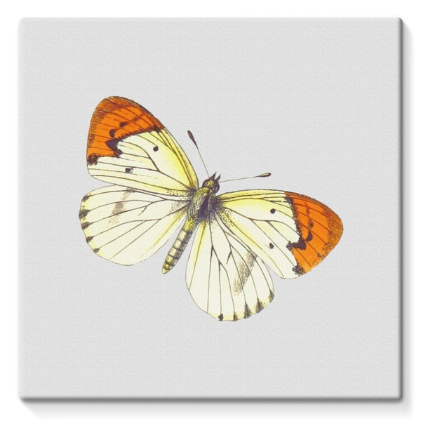Cream Orange Butterfly Stretched Canvas 10X10 Wall Decor