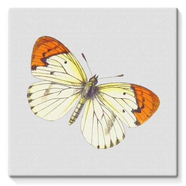 Cream Orange Butterfly Stretched Eco-Canvas 10X10 Wall Decor