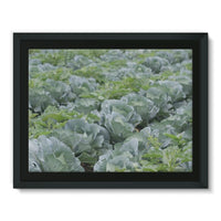 Crops Of Cabbage Framed Canvas 16X12 Wall Decor