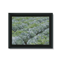 Crops Of Cabbage Framed Canvas 24X18 Wall Decor