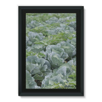 Crops Of Cabbage Framed Canvas 24X36 Wall Decor
