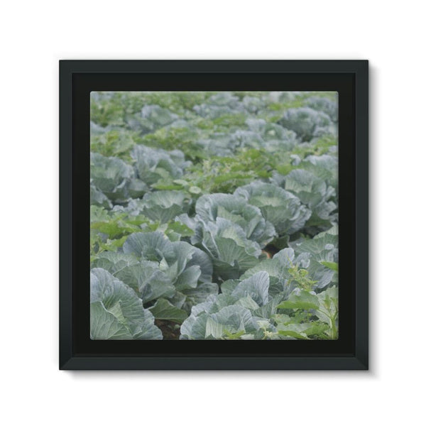 Crops Of Cabbage Framed Eco-Canvas 10X10 Wall Decor