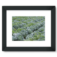 Crops Of Cabbage Framed Fine Art Print 16X12 / Black Wall Decor