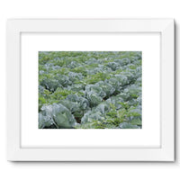Crops Of Cabbage Framed Fine Art Print 16X12 / White Wall Decor